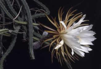 Selenicereus grandiflorus / Königin der Nacht Blüte