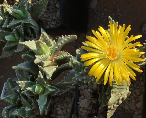 faucaria tigrina mit gelber blüte