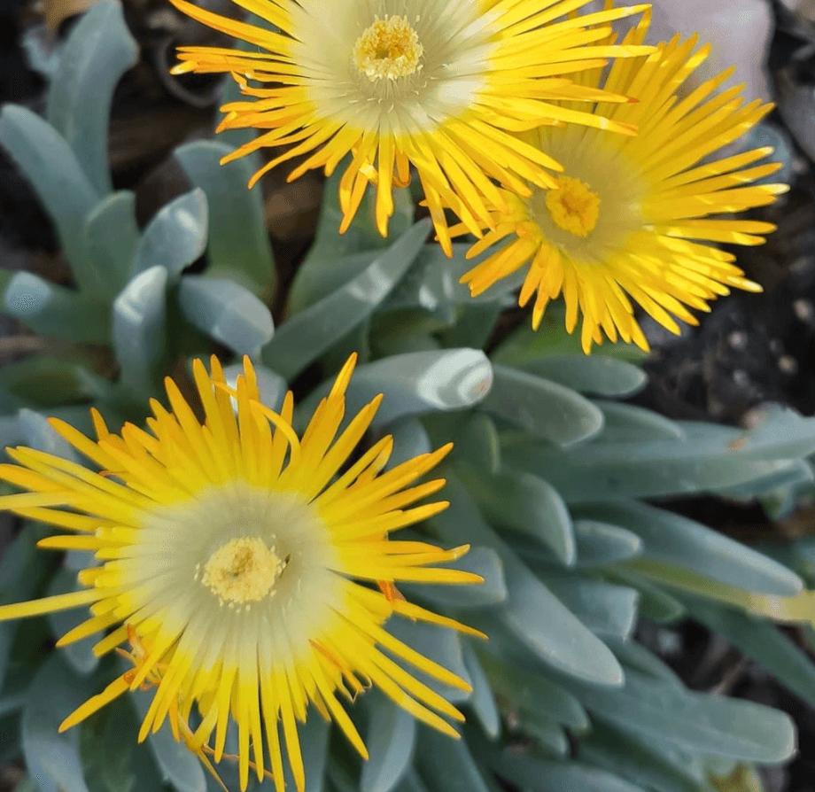 Cheiridopsis-candidissima