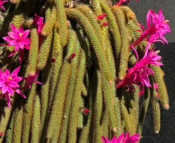 Kakteen » Pflege, Vermehrung, Arten & Shop » Sukkulenten