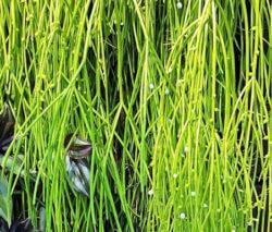 Rhipsalis sukkulenten dein experte f r lithops conophytum - Epiphyten zimmerpflanze ...
